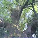 市の木(くすの木)