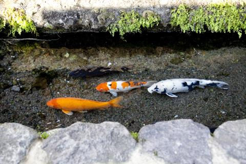 鯉の泳ぐ水路