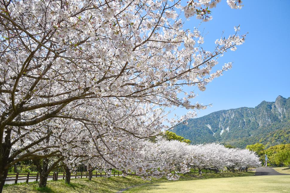 オルレコース上の桜_ひょうたん池公園 (3)
