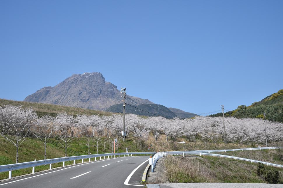 オルレコース上の桜_まゆやまロード沿い (3)